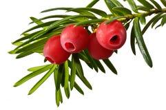 Зеленая хворостина yew с красными ягодами yew на белой предпосылке Стоковое фото RF