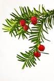 Зеленая хворостина yew с красными ягодами yew на белой предпосылке Стоковые Фотографии RF