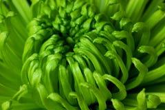 Зеленая хризантема Стоковое Фото