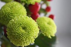 Зеленая хризантема Стоковое Изображение