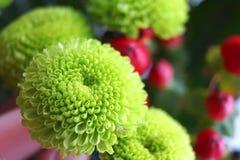 Зеленая хризантема Стоковое Изображение RF