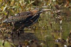Зеленая цапля в пруде Стоковая Фотография