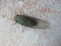 Зеленая цикада Стоковая Фотография RF