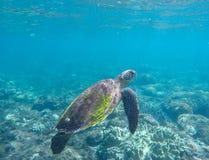 Зеленая черепаха в коралловом рифе Голубые море и морское животное Стоковое Изображение