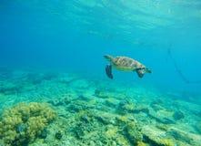 Зеленая черепаха в морской воде Snorkeling в троповой лагуне Одичалая черепаха плавая под водой в голубом тропическом море Стоковое Изображение