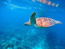 Зеленая черепаха в открытом море Лагуна и черепаха Seashore Одичалая зеленая черепаха в тропической лагуне Стоковые Фото