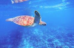 Зеленая черепаха в чистом открытом море Черепаха Seashore Одичалая зеленая черепаха в тропической лагуне Стоковые Фотографии RF