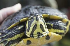 Зеленая черепаха Стоковые Фото