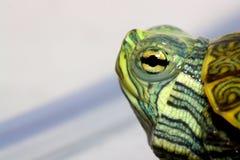 зеленая черепаха Стоковые Изображения