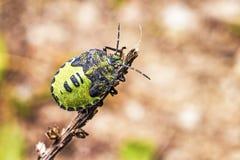 Зеленая черепашка воина (hilare Acrosternum) Стоковая Фотография RF