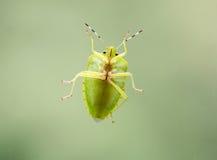 Зеленая черепашка вони Стоковая Фотография RF