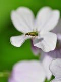 Зеленая черепашка на белом цветке Стоковые Фотографии RF