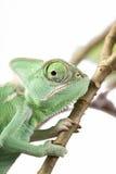 Зеленая ювенильная ящерица хамелеона вуали Стоковые Фотографии RF