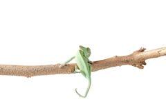 Зеленая ювенильная ящерица хамелеона вуали Стоковые Изображения RF