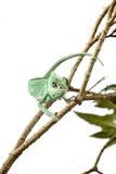 Зеленая ювенильная ящерица хамелеона вуали Стоковое Фото