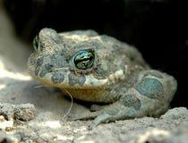Зеленая лягушка взобралась из отверстия после спячки Стоковая Фотография RF
