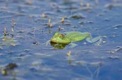 Зеленая лягушка в воде Стоковая Фотография