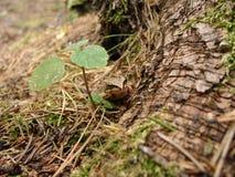 Зеленая лягушка в сосновом лесе Стоковое Изображение RF