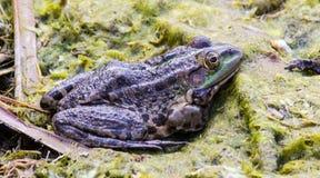 Зеленая лягушка в трясине Стоковые Изображения