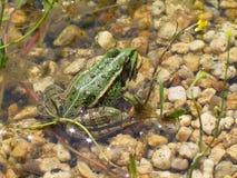 Зеленая лягушка греясь в пруде - вид Pelophylax esculentus Стоковое Изображение