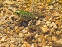 Зеленая лягушка греясь в пруде - вид Pelophylax esculentus Стоковые Изображения