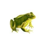 Зеленая лягушка, на белизне Стоковое Фото