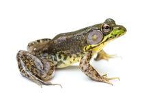 Зеленая лягушка на белой предпосылке Стоковое Фото