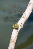 Зеленая лягушка на ветви Стоковое фото RF