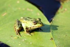 Зеленая лягушка на зеленых лист лилии в лете Стоковое Изображение