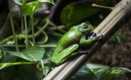 Зеленая лягушка на листьях Стоковые Фотографии RF