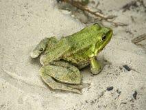 Зеленая лягушка на песке Стоковые Изображения RF