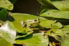 Зеленая лягушка на пусковых площадках лилии Стоковое Изображение