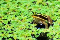 Зеленая лягушка лотоса Стоковые Изображения