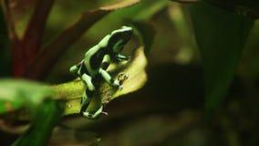 Зеленая лягушка лодкамиамфибии акции видеоматериалы