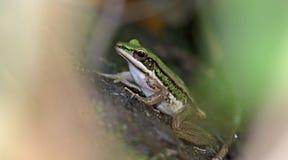 Зеленая лягушка падиа, красивая лягушка, лягушка на песке Стоковое Изображение