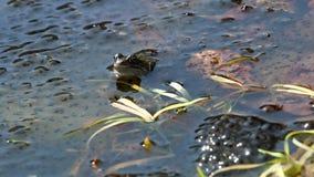 Зеленая лягушка порождает в голландском пруде видеоматериал