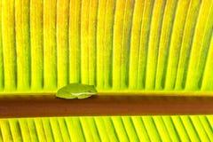 Зеленая лягушка сидит на пальме Стоковые Фото