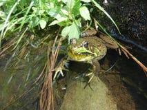 Зеленая лягушка сидя в пруде Стоковые Изображения RF
