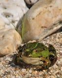 Зеленая лягушка сидя на гравии Стоковое фото RF