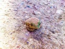 Зеленая лягушка с камуфлированием песка Стоковые Фотографии RF