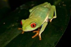 Зеленая лягушка с красными глазами Стоковые Изображения