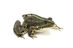 Зеленая лягушка с открытым ртом Стоковые Фотографии RF