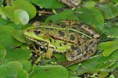 Зеленая лягушка увиденная сверху Стоковые Изображения RF