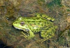 Зеленая лягушка Стоковое Изображение RF
