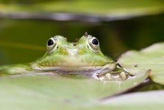 Зеленая лягушка Стоковое Изображение