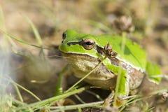 Зеленая лягушка Стоковое фото RF