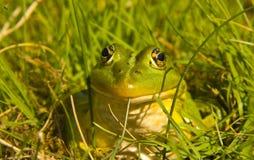 Зеленая лягушка Стоковые Изображения RF