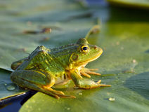 Зеленая лягушка Стоковые Фото