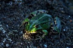 Зеленая лягушка Стоковая Фотография RF