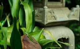 Зеленая ящерица в японском саде Стоковое Изображение RF